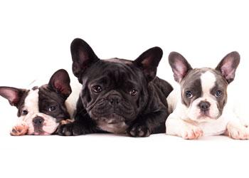 JJG Frenchies – French Bulldog Breeders