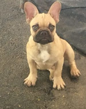 Akc Chocolate Fawn French Bulldog Male Mark Anthony Jjg