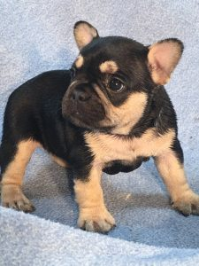 Black And Tan French Bulldog Puppies Jjg Frenchies