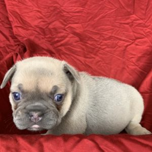 French Bulldog Puppies For Sale – JJG Frenchies