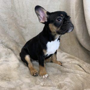 Black And Tan French Bulldog Puppies Jjg Frenchies